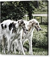 Large Dogs On The Prowl Acrylic Print