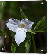Large-flower Trillium Dspf279 Acrylic Print