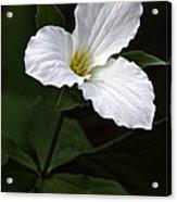 Large Flowered Trillium Acrylic Print