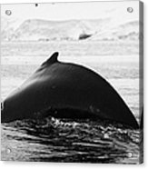 large male Humpback whale with arched back diving in Wilhelmina Bay Antarctica Acrylic Print