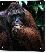 Large Male Orangutan Borneo Acrylic Print