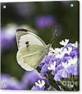 Large White Pieris Brassicae  Acrylic Print
