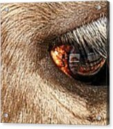 Lashes Acrylic Print by Diana Angstadt