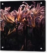 Last Light Lillies Acrylic Print