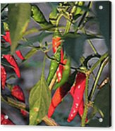 Last Of The Peppers Acrylic Print