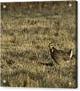 Last Prairie Chicken On The Booming Grounds  Acrylic Print by Thomas Young