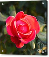 Last Rose Of Summer Acrylic Print