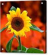 Last Sunflower Horizontal Acrylic Print
