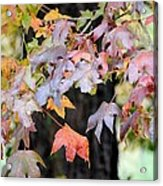 Late Autumn Maples Acrylic Print