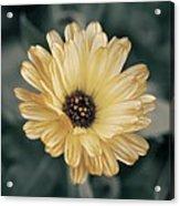Late Bloomer Acrylic Print