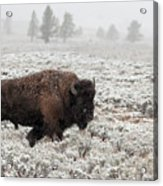 Late Fall Yellowstone Acrylic Print