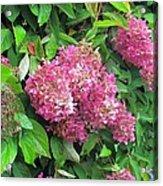 Late Hydrangea Flower Acrylic Print