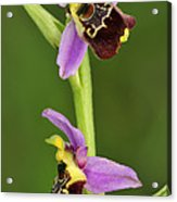 Late Spider Orchid Switzerland Acrylic Print