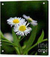 Late Summer Bloom Acrylic Print
