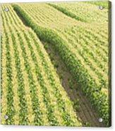 Late Summer Corn Field In Maine Acrylic Print