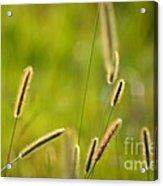Late Summer Grasses Acrylic Print