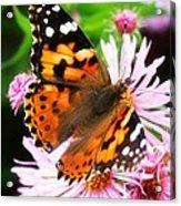 Late Summer Painted Lady Acrylic Print