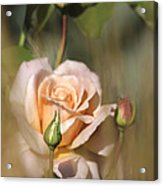 Late Summer Rose Acrylic Print