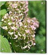 Later Summer Bloom Acrylic Print