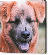 Laughing Dog Acrylic Print