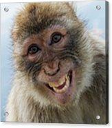 Laughing Gibraltar Ape Barbary Macaque Acrylic Print