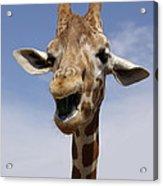 Laughing Giraffe Acrylic Print