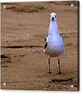 Laughing Gull 004 Acrylic Print