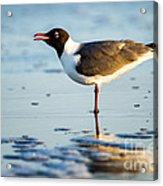 Laughing Gull On The Beach At Fort Clinch State Park Florida  Acrylic Print