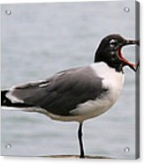 Laughing Gull Acrylic Print