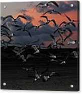 Laughing Gull Twilight Acrylic Print