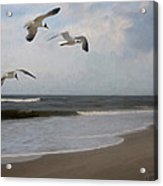 Laughing Gulls Over Nags Head Acrylic Print