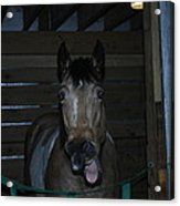 Laughing Horse Acrylic Print