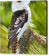 Laughing Kookaburra Acrylic Print