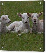 Laughing Lamb Acrylic Print