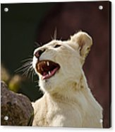 Laughing Lioness Acrylic Print