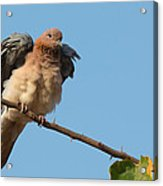 Laughing Palm Dove Fluffing Feathers Acrylic Print