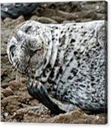 Laughing Seal Acrylic Print
