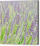 Lavender 1 Acrylic Print