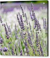 Lavender 2 Acrylic Print