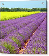 Lavender And Mustard Acrylic Print