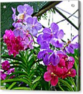 Lavender And Red Orchids At Maerim Orchid Farm In Chiang Mai-tha Acrylic Print