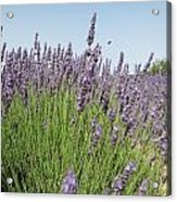 Lavender And The Bee Acrylic Print