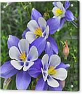 Lavender And White Star Flowers Acrylic Print