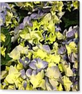 Lavender And Yellow Hydrangea Acrylic Print