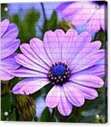 Lavender Beauties Acrylic Print