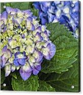 Lavender Blue Hydrangea Blossoms Acrylic Print