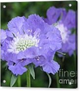 Lavender Blue Pincushion Flower Acrylic Print