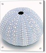 Blue Sea Urchin White Acrylic Print