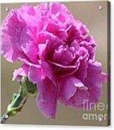 Lavender Carnation Acrylic Print