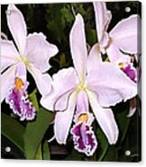 Lavender Cattleya Orchids Acrylic Print